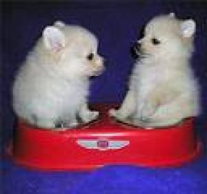 GorgeouslittledarlingPomeranianpuppies