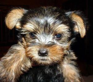 WehaveteacupYorkiepuppiesforadoption
