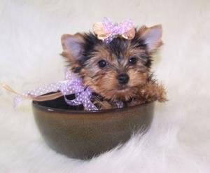 T-cupyorkiepuppiesForAdoption