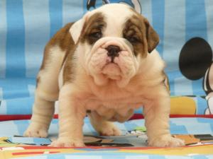 HealthyEnglishBulldogPuppiesAvailable