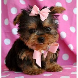 NiceTeaCupYorkiePuppiesForFreeAdoption