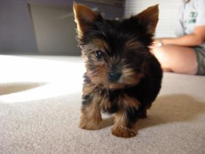 Lovelyteacupyorkiepuppiesforadoption