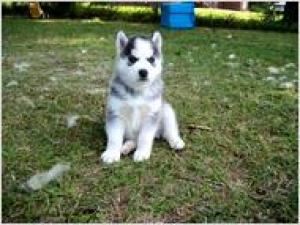 BLUEEYESSIBERIANHUSKYPUPPIESFORADOPTION