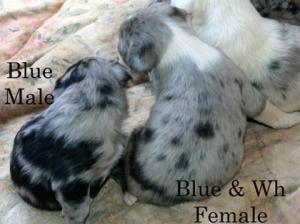 Catahoulapuppies
