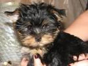 PURE BREED YORKIE PUPPIES AVAILABLE