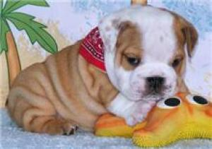 House Broken English Bulldog Puppies For Adoption