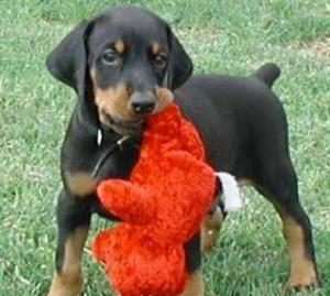 DobermanPuppiesForSaleToGoodHomesOnly