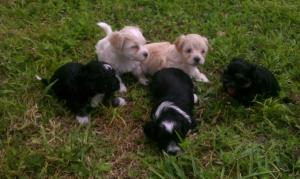 HavanesePuppies