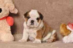 englishbulldogpuppiesforfreeadoption