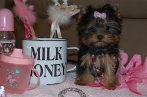 T-Cup/Toy Yorkie Puppies! Baby-Doll Faces, excelle