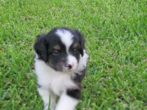MiniatureAustralianShepherdPuppiesforSale