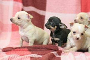 CKCRegisteredAppleHeadToyChihuahuaPuppies