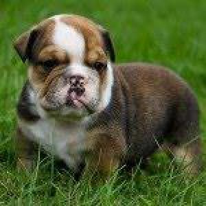 lovelyenglishbulldogpuppiesforadoption