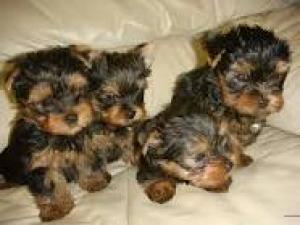 four cute yorkie puppies for adoption