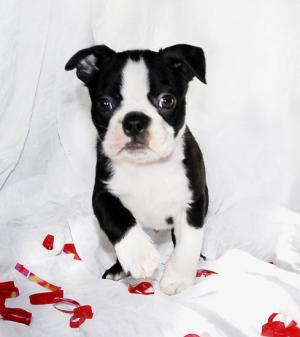 lovely boston terrier