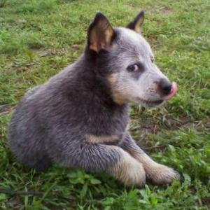 BlueHeelerFemale