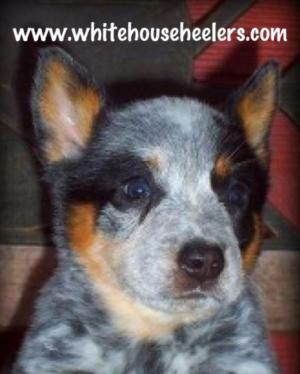Registered Australian Cattle Dogs