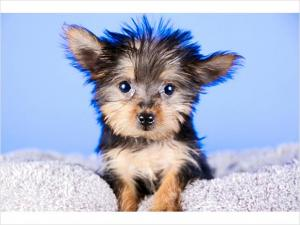 HealthyYorkiepuppiesforfreeadoption