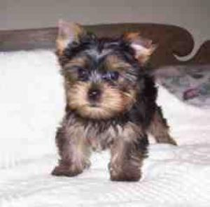 PerfectTeacupYorkiePuppiesforfree
