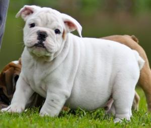 AkcEnglishBulldogPuppiesforsaleinWisconsin
