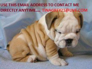 CuteEnglishBulldogpuppiesforsale