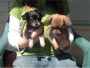CKCLONGHAIRChihuahuapuppies