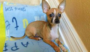 Playful and Beautiful AKC Chihuahua Puppies of Sal
