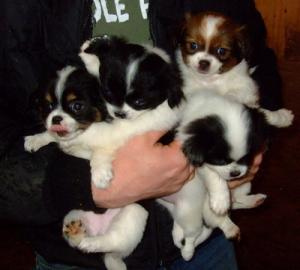ChihuahuaCrossFemalePuppies