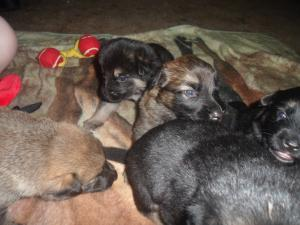 cute ckc german shephed puppies