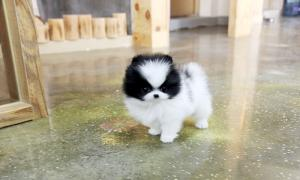 OutstandingPomeranianPuppies