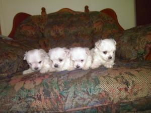 BeautifulMalteseAKCPurebredPuppies