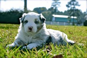 AustralianShepherdPuppy
