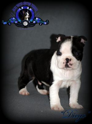 AKCBlueWaterBostonTerrierPuppies
