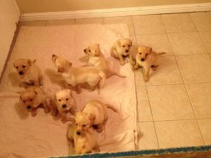 YellowLabPuppies
