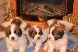 Beethoven Puppies for sale