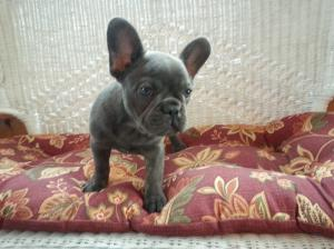 FrenchiePuppiesNeedHomes