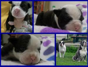 oldenglishbulldogpuppies