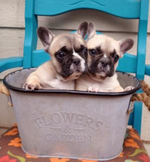 AKCFrenchBulldogpuppies