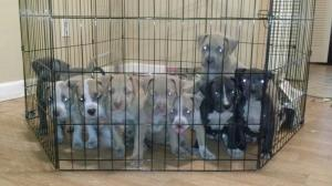 BeautifulPitbullPuppiesforSalewithFI