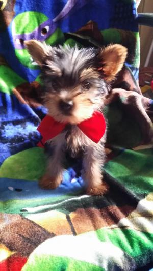 Teacupyorkie