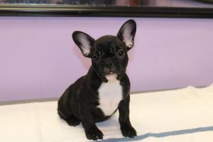 Fastandactivefrenchbulldogpuppiesforsale