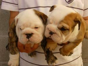 AKCregisteredEnglishBulldogpuppies