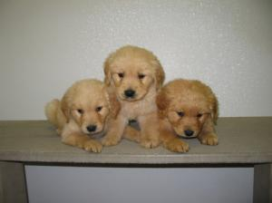 Beautiful AKC Golden Retriever Puppies Ready For A