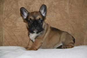 FrenchBulldogforsale