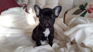 SaveFrenchbulldogpuppieslives