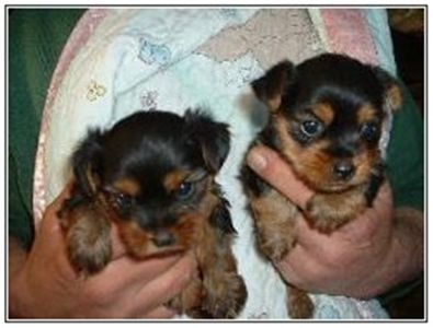 adorableyorkiesforadoption