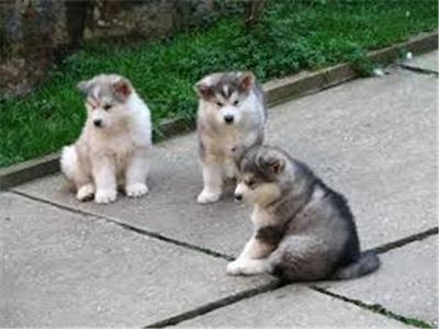 alaskanMalamutepuppies