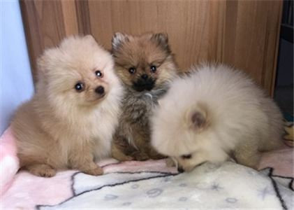 Male and Female Pomeranian Pups