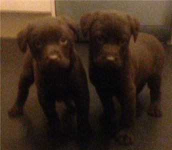 ChocolateLabradorPuppies