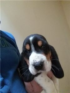 F1 4 adoption Basset hound Pups